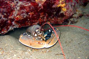Lobster Tauchen in Kroatien